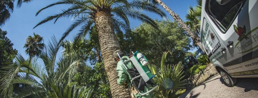 Taille de Palmier - Micena Jardins